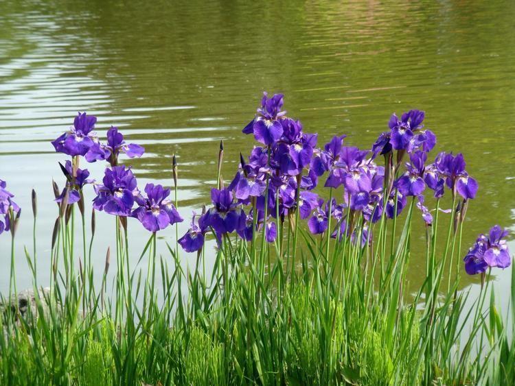 Iris sanguinea Iris sanguinea Donn ex Hornemann var violacea Makino