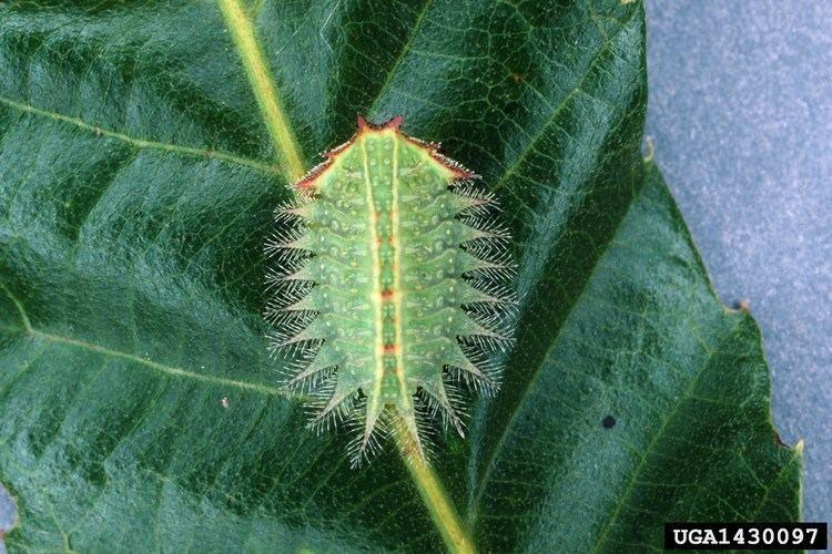Isa textula FileIsa textula larva1jpg Wikimedia Commons