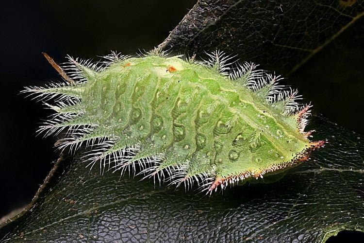 Isa textula Macroscopic Solutions INSPIRING DISCOVERY Crowned Slug moth Isa