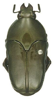 Ischiopsopha httpsuploadwikimediaorgwikipediacommonsthu