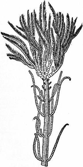 Isocrinidae httpsuploadwikimediaorgwikipediacommonsthu