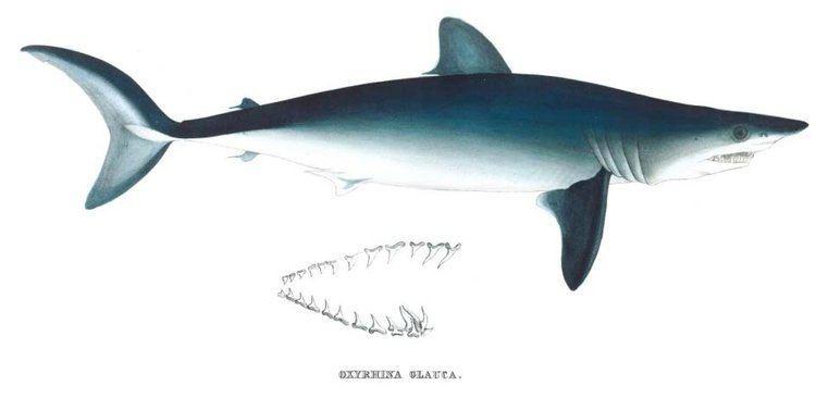 Isurus Isurus oxyrinchus SharkReferences