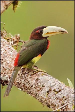 Ivory-billed aracari Ivorybilled Aracari AZ Birds