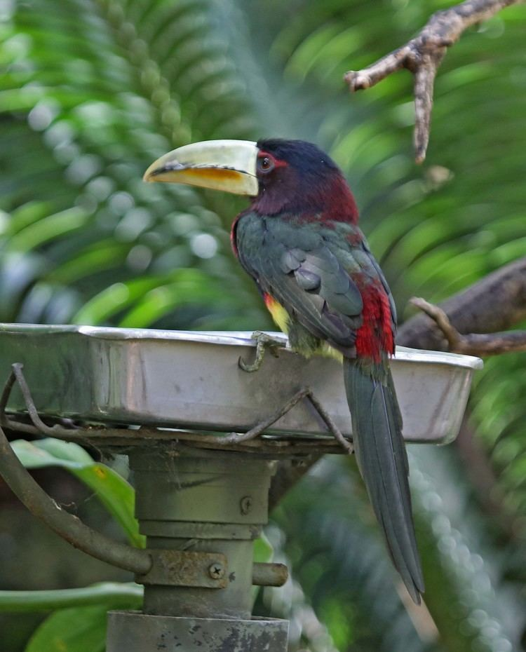 Ivory-billed aracari Pictures and information on Ivorybilled Aracari