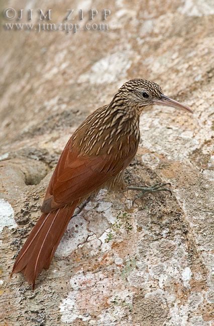 Ivory-billed woodcreeper Jim Zipp wild bird images Bird and wildlife photographs Ivory