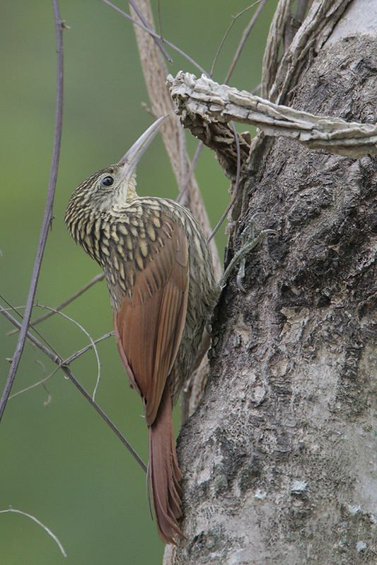 Ivory-billed woodcreeper Ivorybilled Woodcreeper photo Greg Lavaty photos at pbasecom