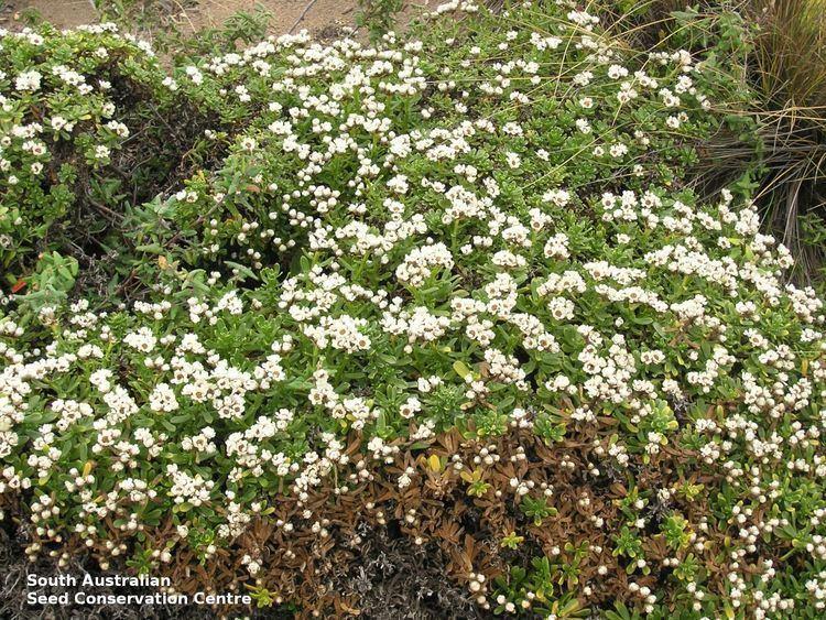 Ixodia Ixodia achillaeoides ssp arenicola