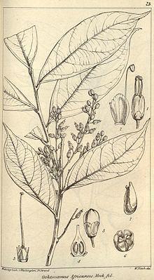Ixonanthaceae httpsuploadwikimediaorgwikipediacommonsthu