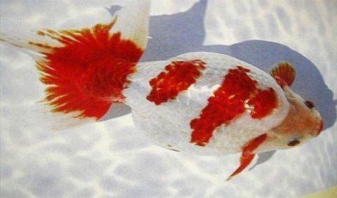 Izumo Nankin Goldfish Izumo nankin Goldfish Pinterest