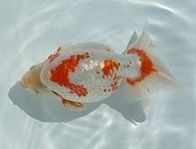 Izumo Nankin Goldfish vermilliongoldfishclubcomdiaryjapangoldfishcu