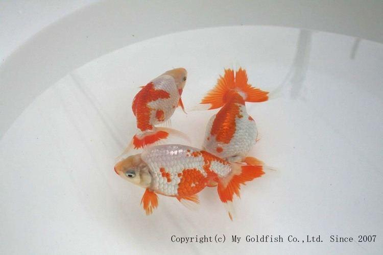 Izumo Nankin Goldfish Izumonankin