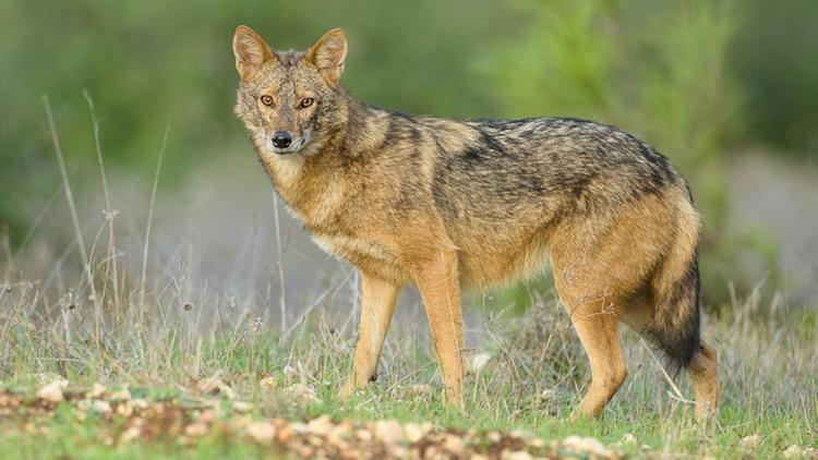 Jackal African golden jackals are actually golden wolves Science AAAS
