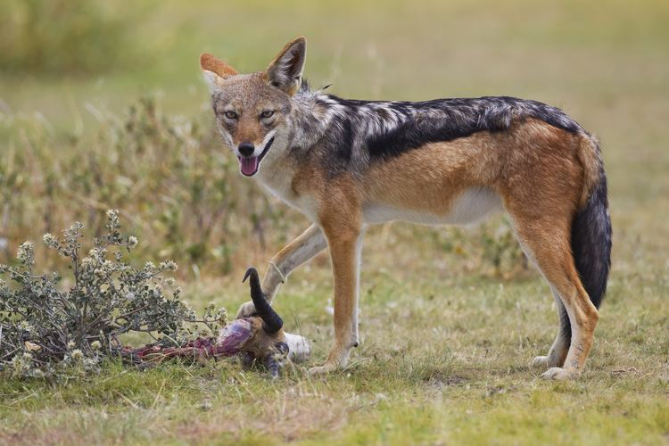 Jackal Blackbacked jackal Wikipedia