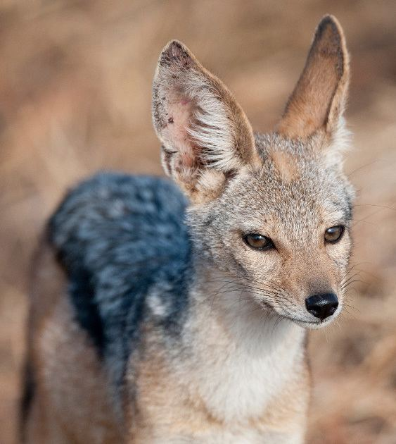 Jackal Jackal African Wildlife Foundation