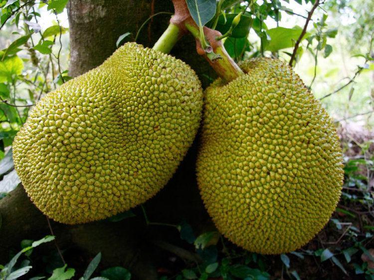 Jackfruit - Alchetron, The Free Social Encyclopedia