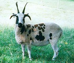 Jacob sheep About Jacob Sheep