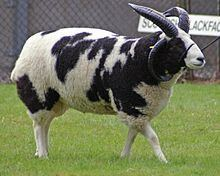 Jacob sheep httpsuploadwikimediaorgwikipediacommonsthu