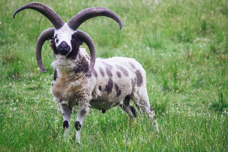 Jacob sheep Jacob Sheep Roving Acres Farm