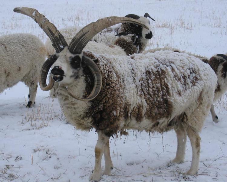 Jacob sheep Jacob Sheep Ruby Peak FarmsRegistered Jacob Sheep
