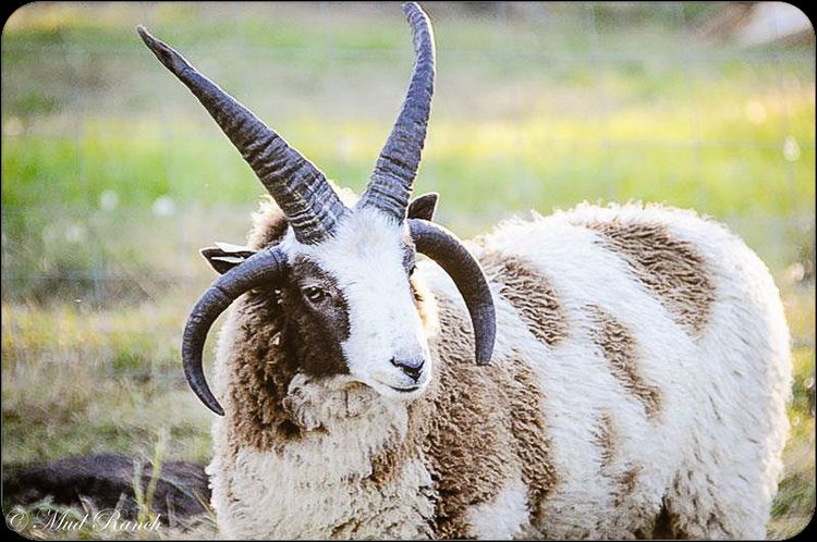 Jacob sheep Jacob Sheep Big Sky Jacobs