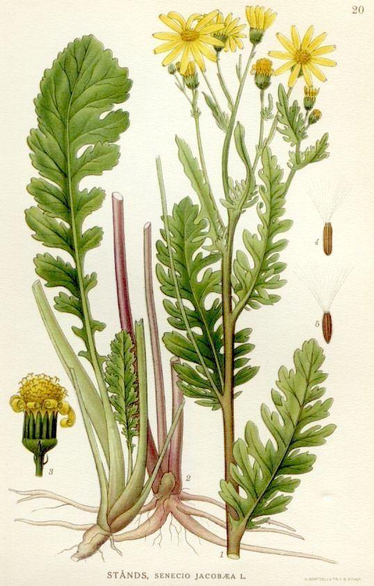 Jacobaea vulgaris httpsuploadwikimediaorgwikipediacommonsbb