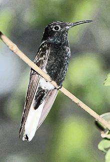 Jacobin (hummingbird) httpsuploadwikimediaorgwikipediacommonsthu