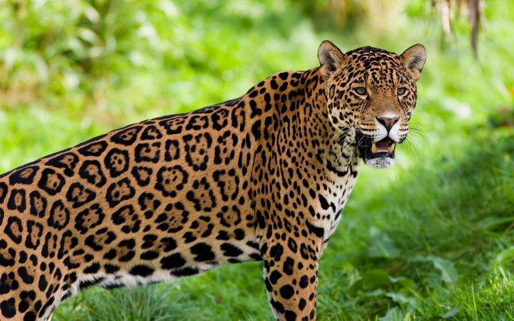 Jaguar Remix of quotJaguar Animal Adaptation Projectquot ThingLink