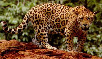 Jaguar Jaguar Facts Big Cat Rescue
