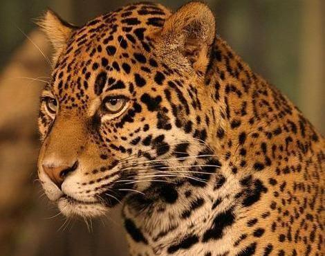 Jaguar Jaguar Panthera Onca Animals AZ Animals