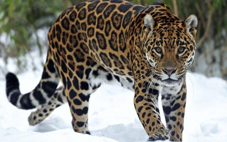 Jaguar 1000 images about Jaguar on Pinterest Jaguar animal Jaguar and