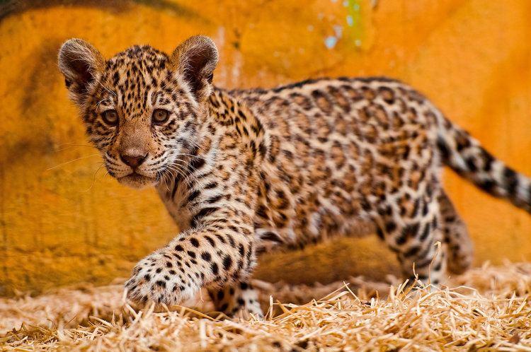 Jaguar Spot the Differences Between Leopards Jaguars and Cheetahs