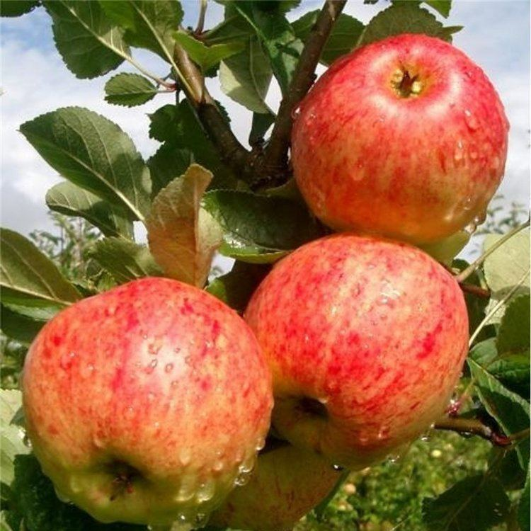 James Grieve apple gbsgardencentrecomwpcontentuploads201501Mal