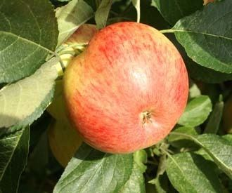 James Grieve apple James Grieve apple trees for sale Order online
