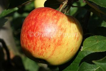 James Grieve apple James Grieve apple trees for sale Buy online Friendly advice