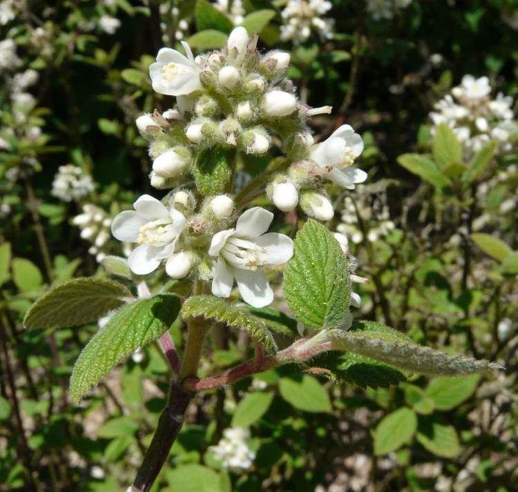 Jamesia Flora of North America Genus Jamesia