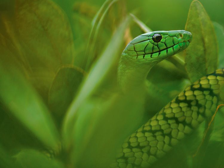 Jameson's mamba Jameson39s Mamba Picture Snake Wallpaper National Geographic