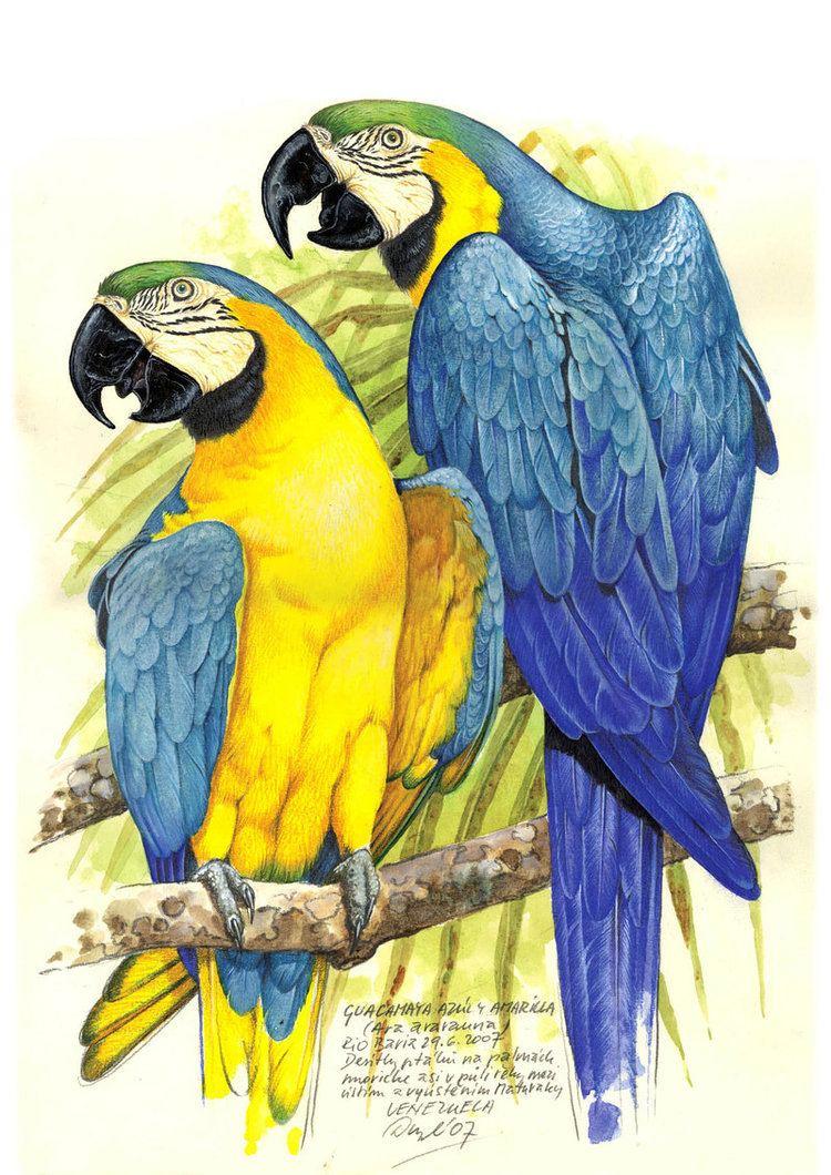 Jan Dungel Kiwi39s Angels Parrot Drawings by Jan Dungel