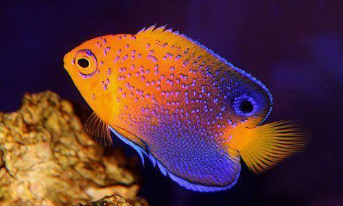 Japanese angelfish JAPANESE ANGELFISH fish love Pinterest Angelfish