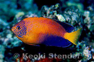 Japanese angelfish Index of divingphotosphotos42