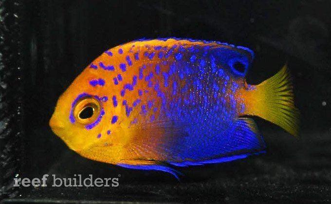 Japanese angelfish httpscdnreefbuilderscomwpcontentblogsdir