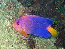 Japanese angelfish Japanese angelfish Wikipedia