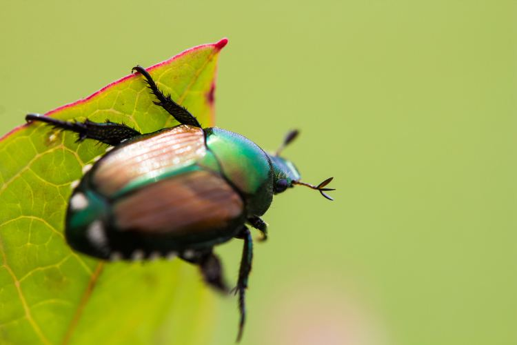 Japanese beetle How to Get Rid of Japanese Beetles Control Bugs and Garden Pests