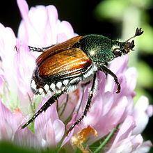 Japanese beetle httpsuploadwikimediaorgwikipediacommonsthu