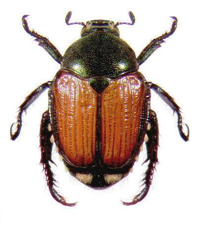Japanese beetle Japanese Beetle Ohioline