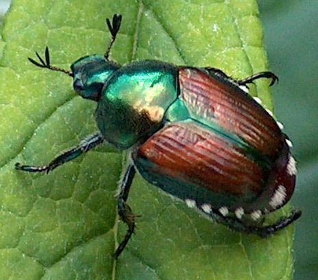 Japanese beetle japanese beetle minnesota