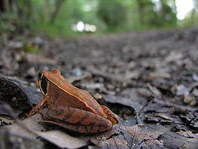 Japanese brown frog httpsuploadwikimediaorgwikipediacommonsthu