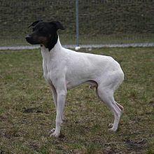 Japanese Terrier httpsuploadwikimediaorgwikipediacommonsthu