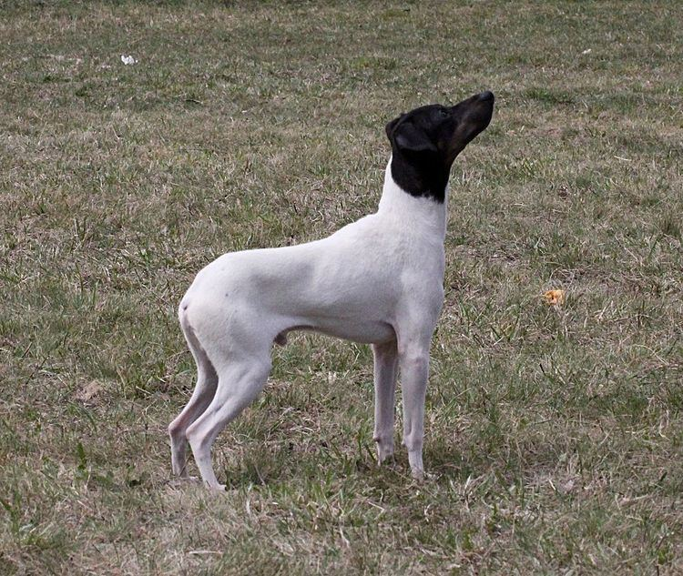 Japanese Terrier Japanese Terrier Facts Pictures Price and Training Dog Breeds