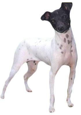 Japanese Terrier Japanese Terrier