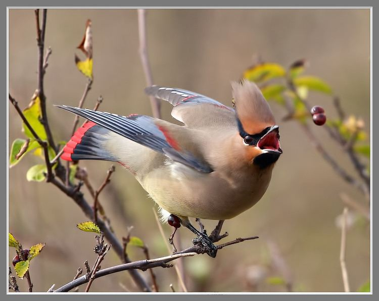 Japanese waxwing japanese waxwing Gallery